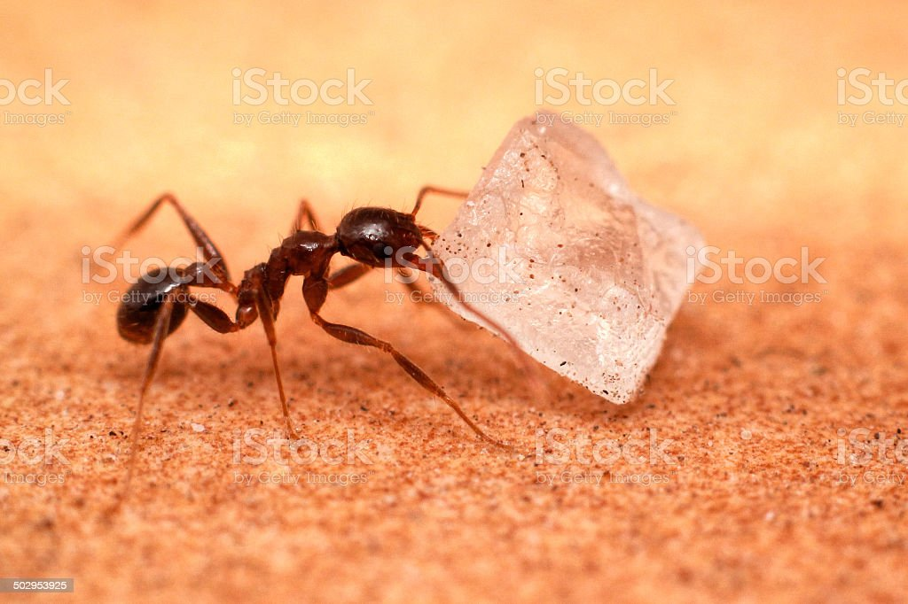 Ant with Sugar crystal stock photo