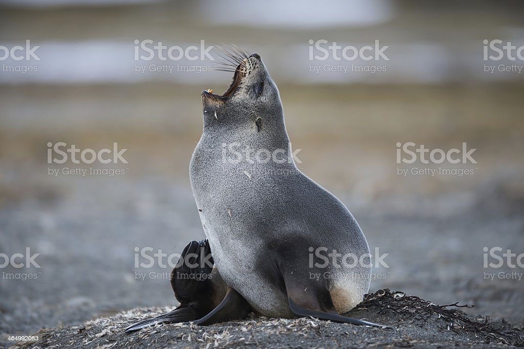Antarctic Fur Seal at the Island of South Georgia stock photo