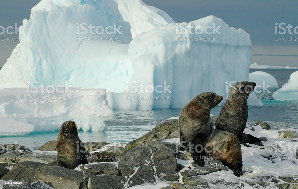 南極ファーシール ロイヤリティフリーストックフォト