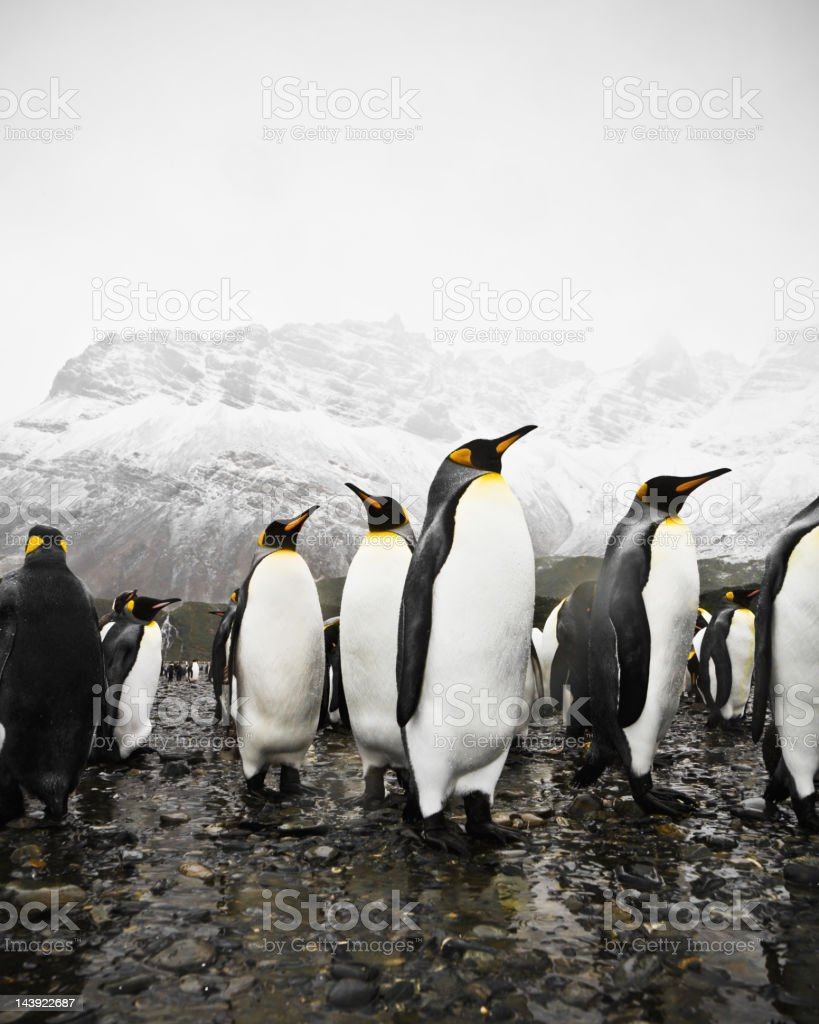 Antarctic King Penguins South Pole Region stock photo