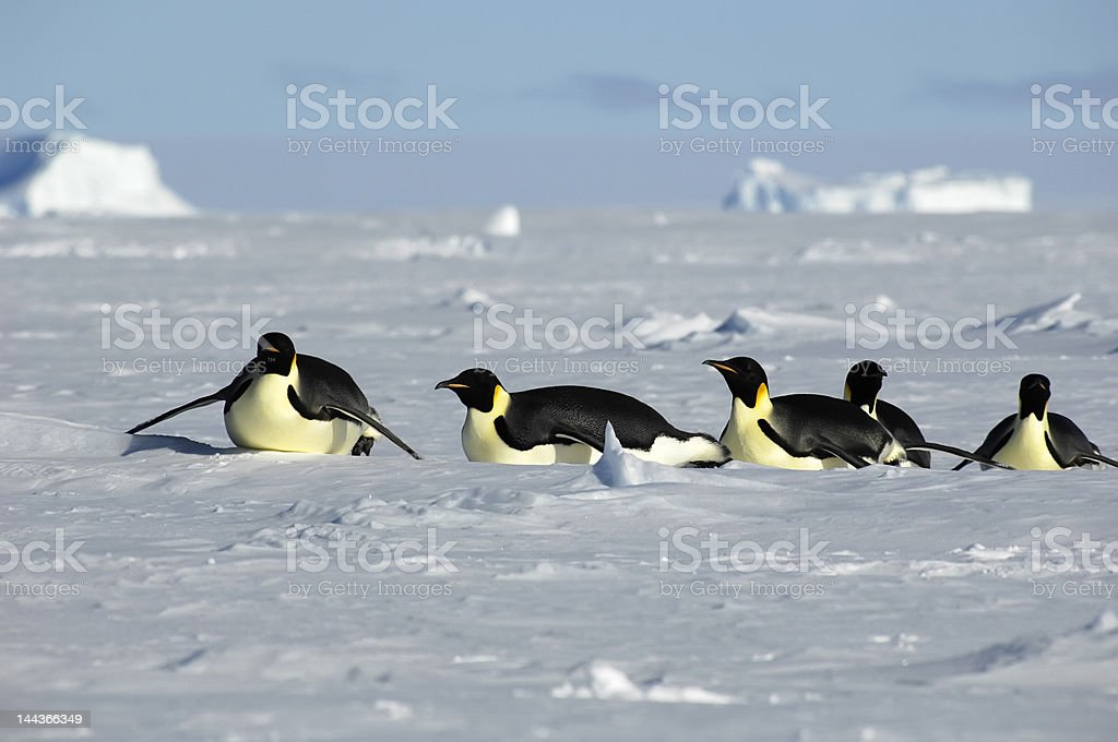 Antarctic penguin procession royalty-free stock photo