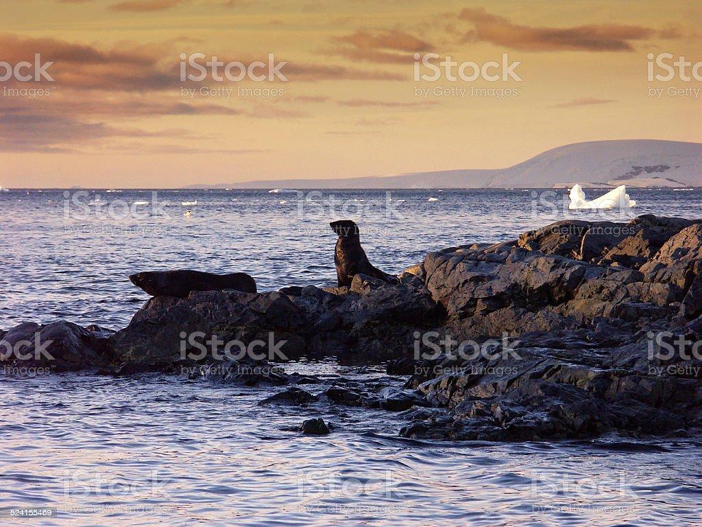 Antarctic seals resting on the rocks stock photo