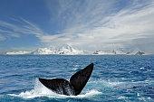 Antarctic tail