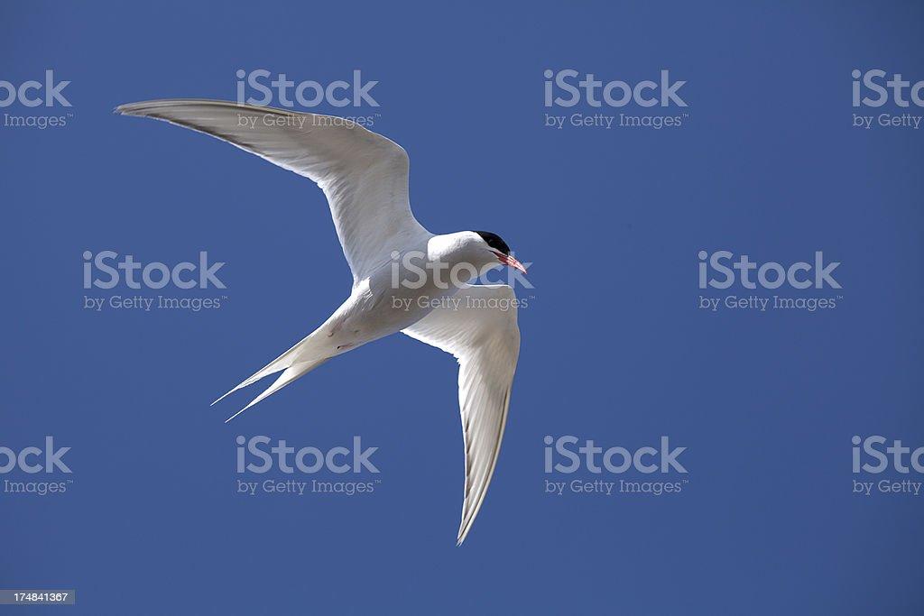 'Antarctic Tern, Falkland Islands' stock photo