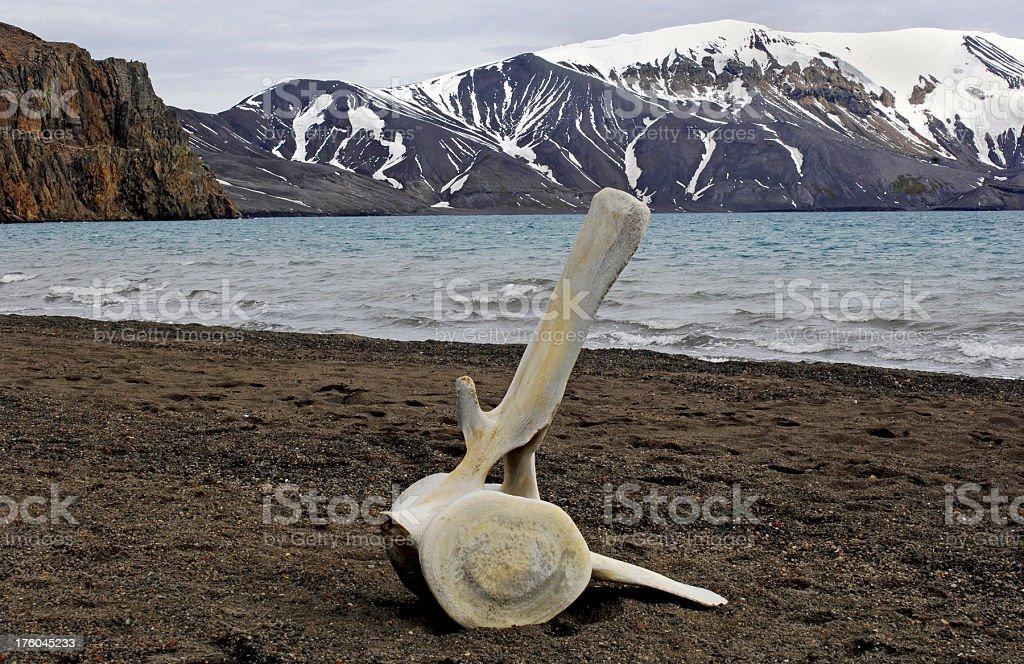 Antarctic Whalebone stock photo