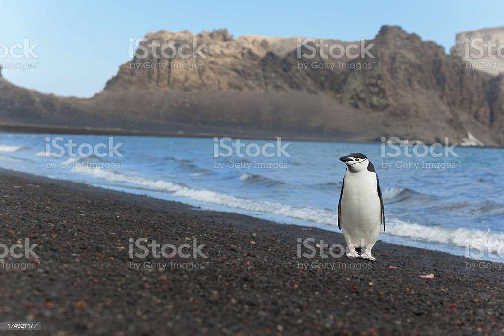Antarctica chinstrap penguin at beach stock photo