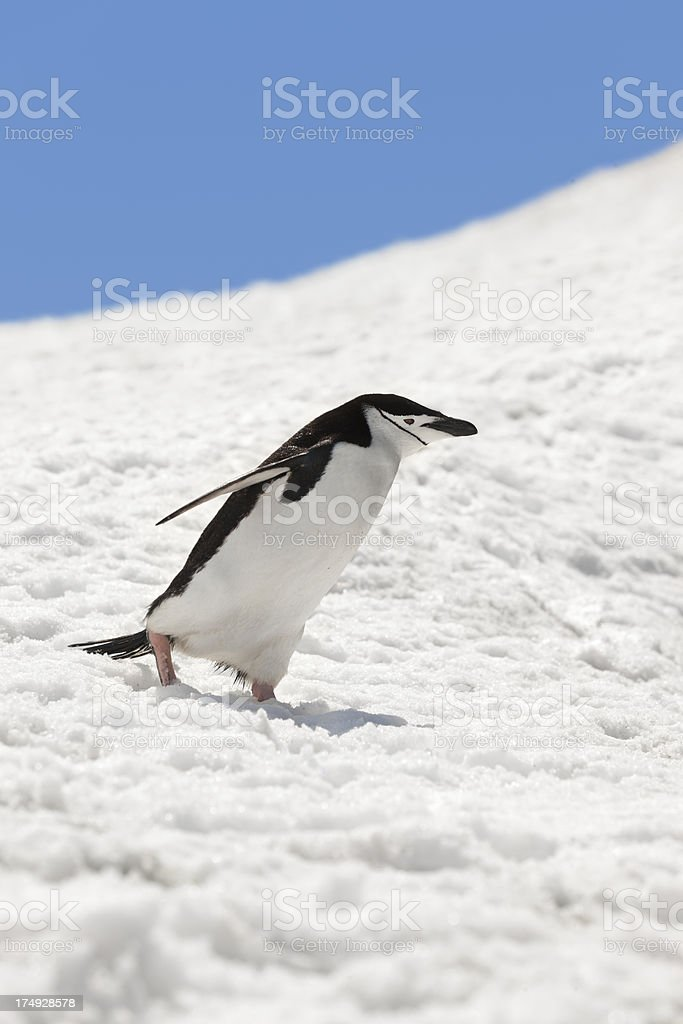 Antarctica chinstrap penguin walking in snow royalty-free stock photo