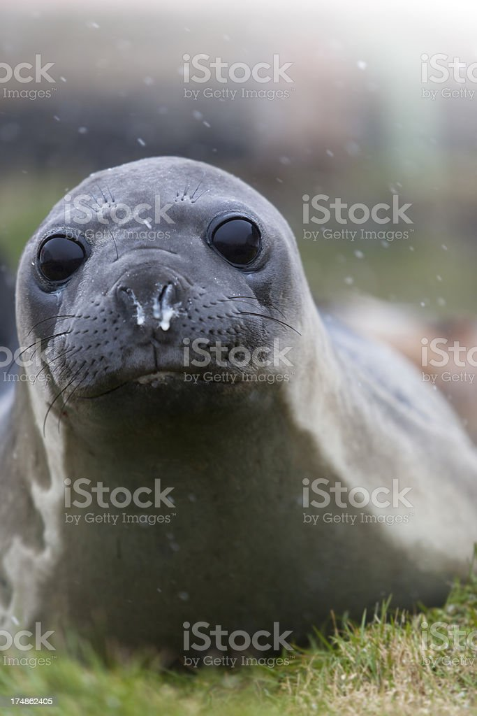 Antarctica Elephant seal on South Georgia royalty-free stock photo
