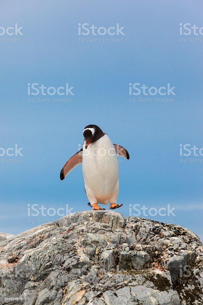 Antarctica gentoo penguin walking on rock stock photo