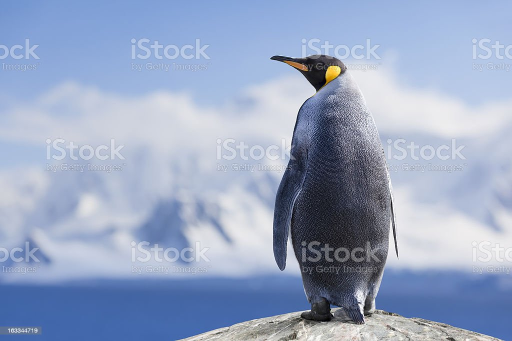 Antarctica King penguin head stock photo