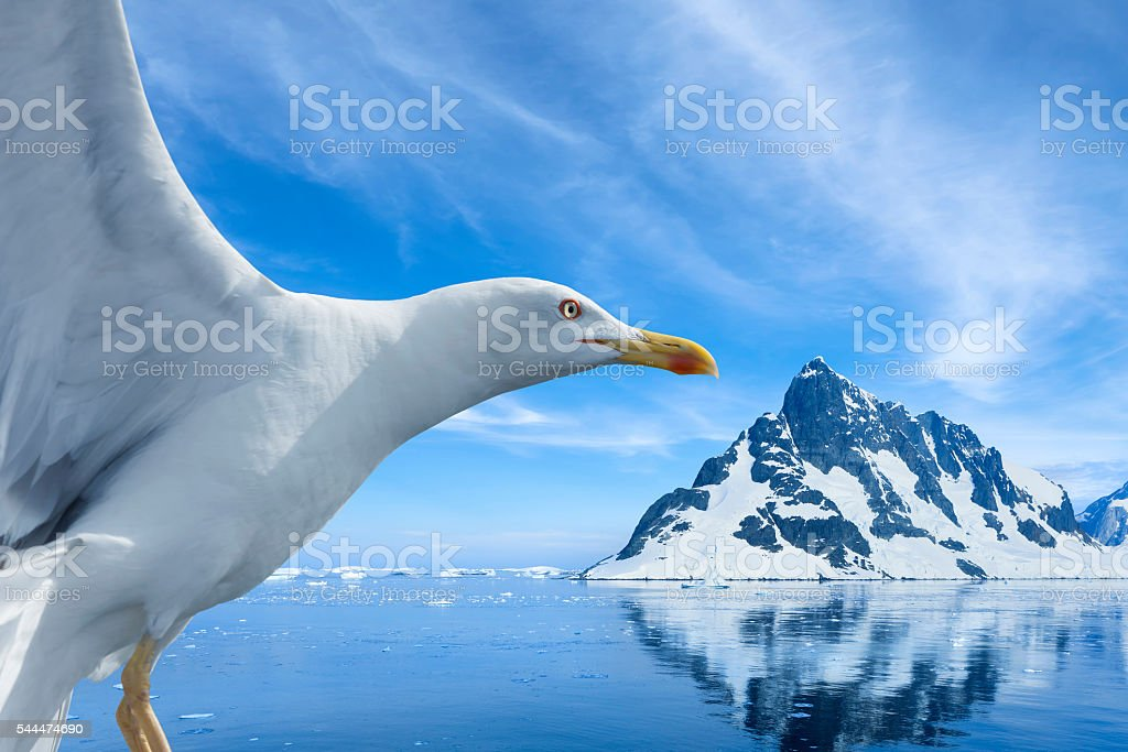 Antarctica seagull flying near Lemaire Channel stock photo