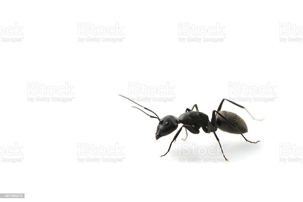 KURO-OARI Ant-Camponotus japonicus stock photo
