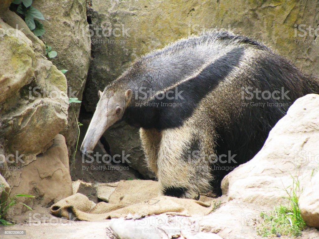 Anteater stock photo