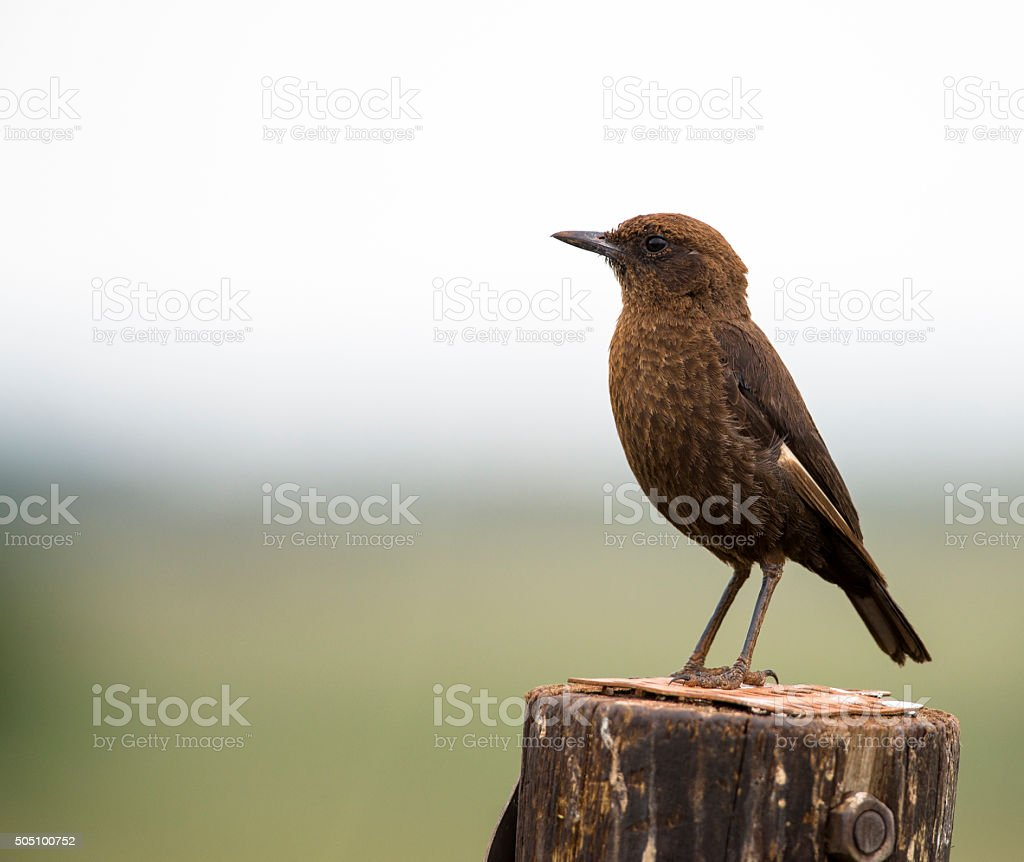 Ant-eating chat on a wooden pole stock photo