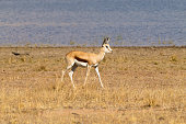 antelope  from South Africa, Pilanesberg National Park. Africa