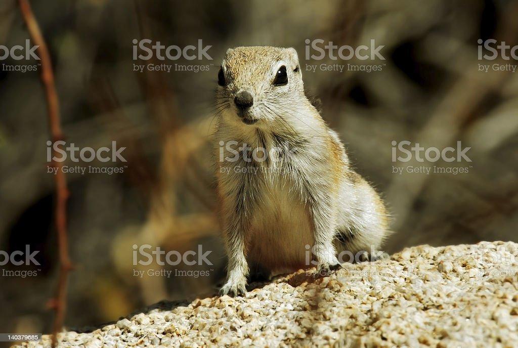 Antelope Ground Squirrel royalty-free stock photo