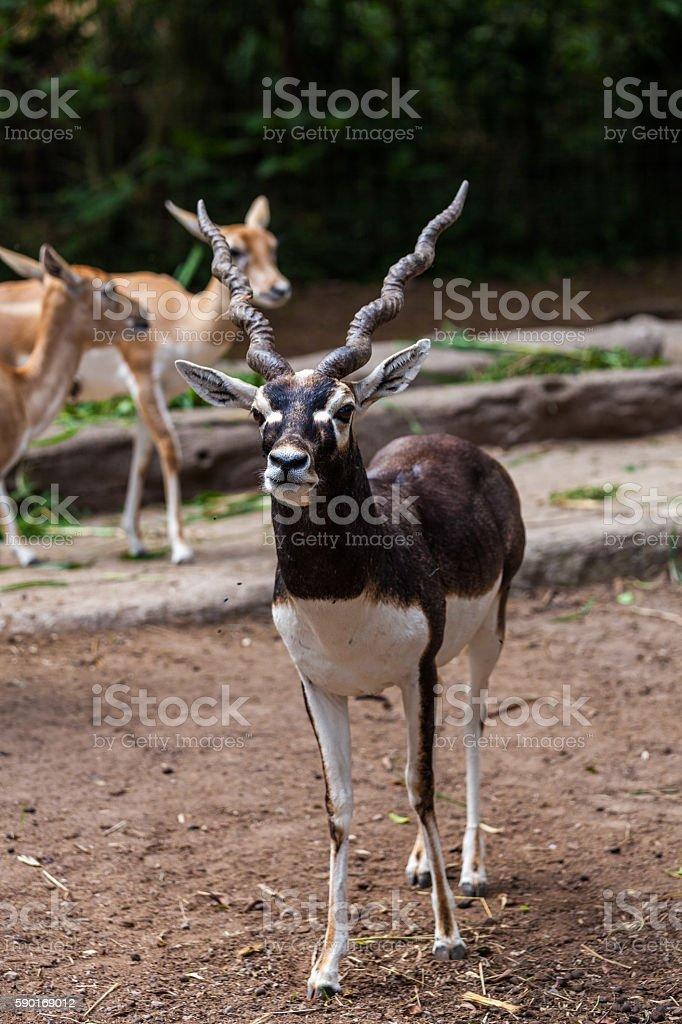 Antelope in Bogor, Indonesia stock photo