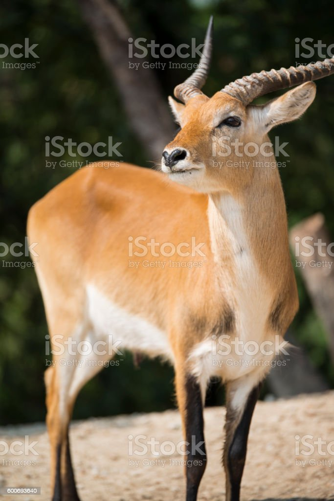 antelope in nature ready to run stock photo