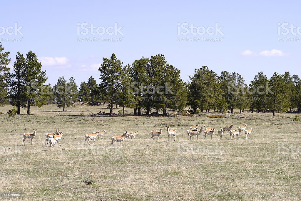 Antelope in northern Colorado stock photo