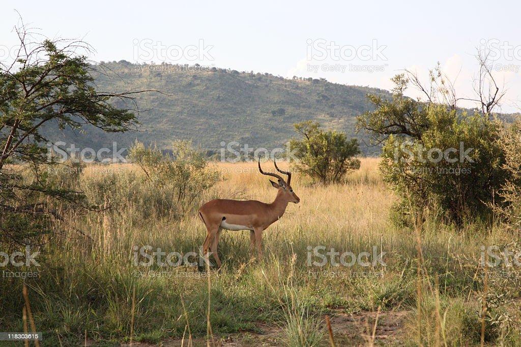 Antelope in Pilanesberg National Park royalty-free stock photo