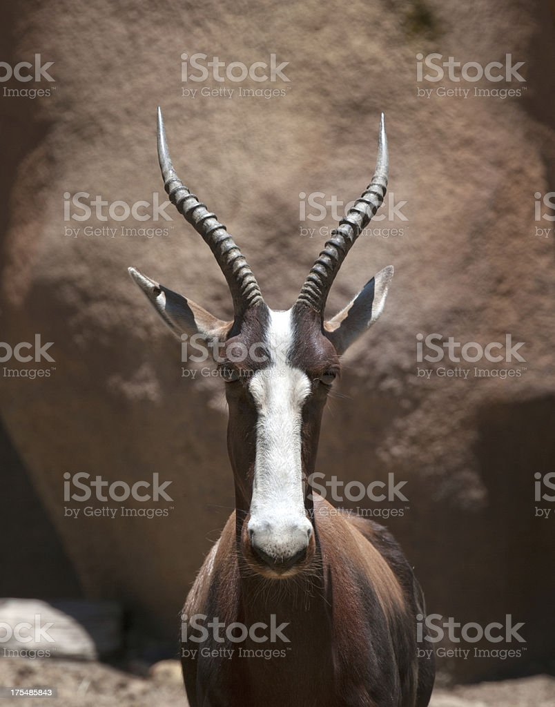Antelope in Wildlife (XXXL) royalty-free stock photo