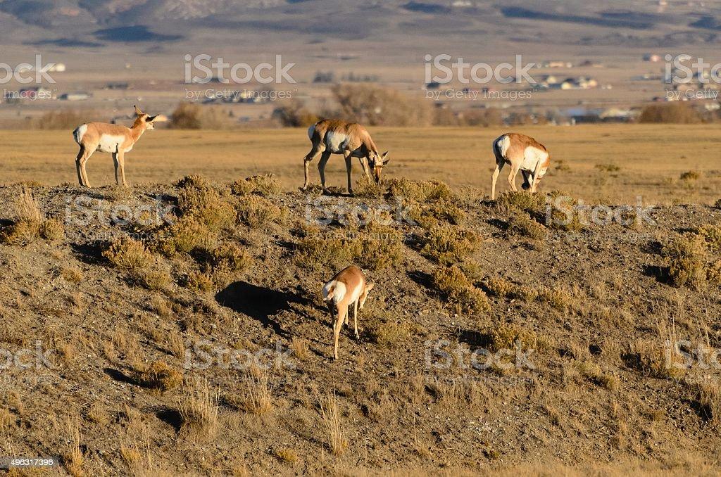 Antelope, Laramie, Wyoming stock photo