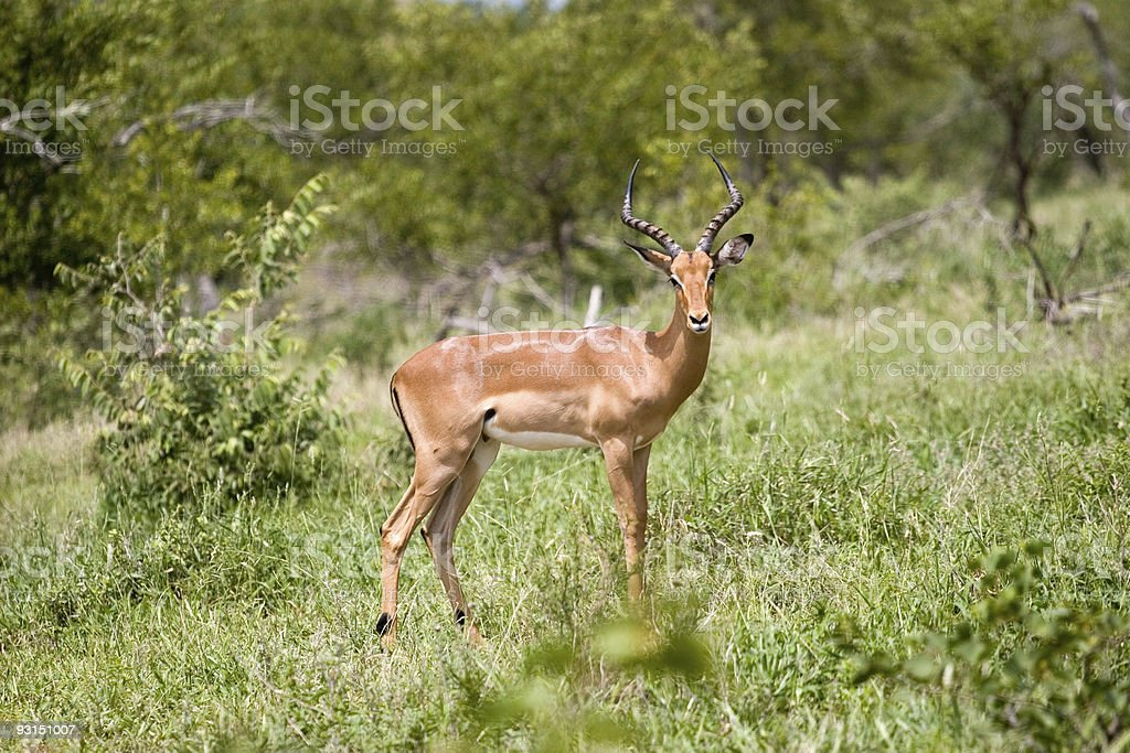 antelope on the guard royalty-free stock photo
