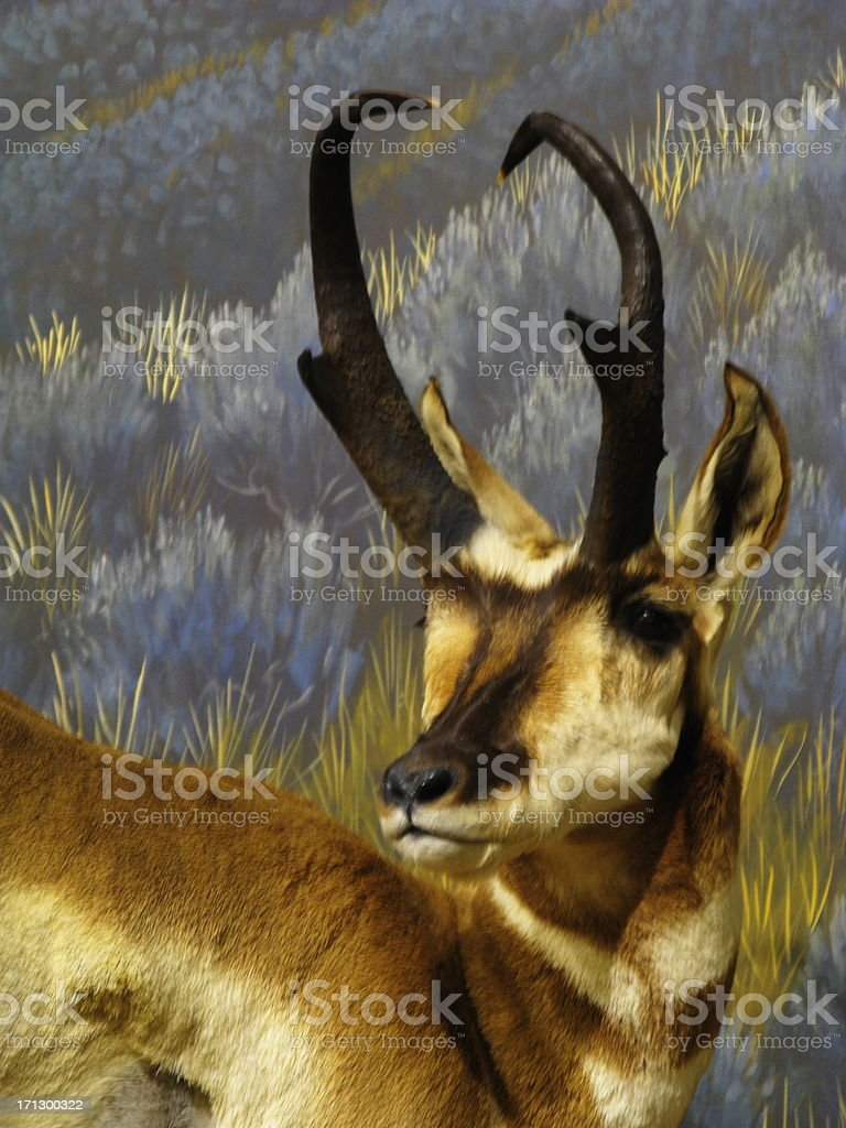 Antelope Pronghorn Animal Bovidae stock photo