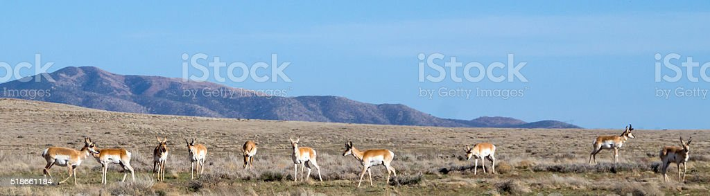 Antelope Roam stock photo