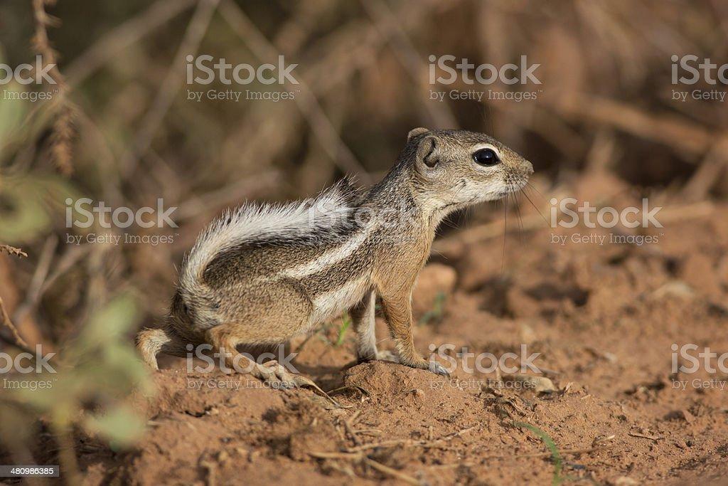 Antelope Squirrel stock photo