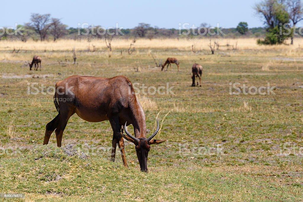 antelope tsessebe Africa safari wildlife and wilderness stock photo