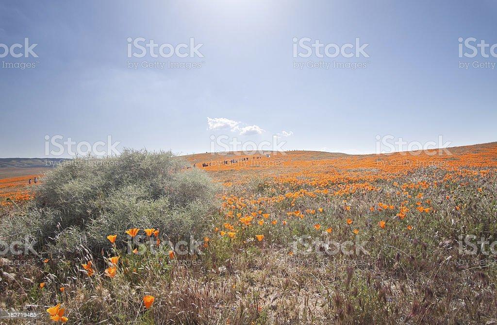 Antelope Valley Poppy field stock photo