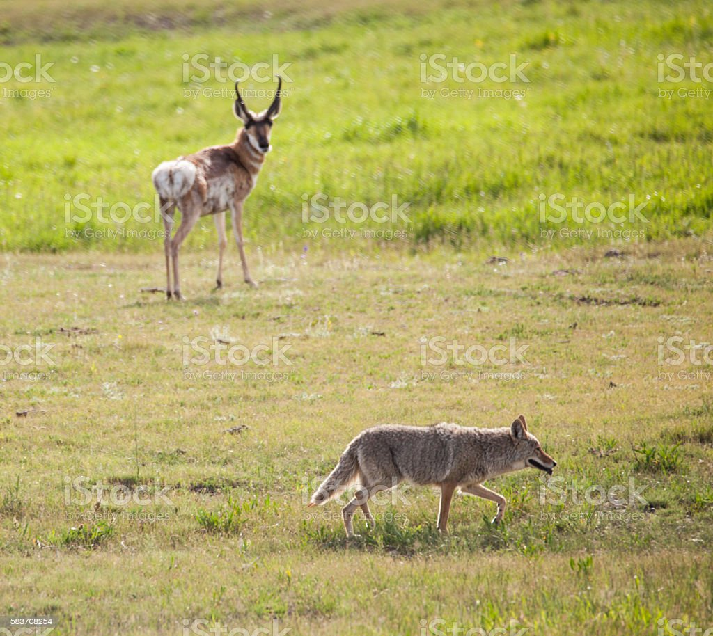 Antelope Watches a Coyote stock photo