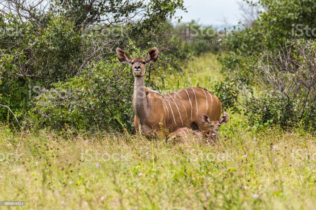 Antelope with child inside Kruger Park stock photo