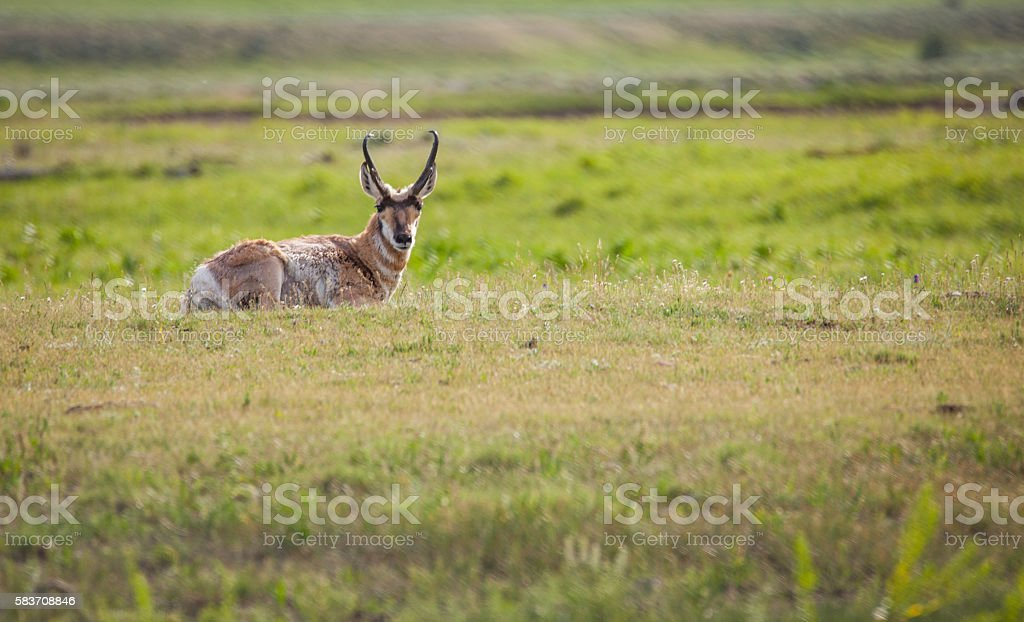 Antelope - Yellowstone National Park stock photo