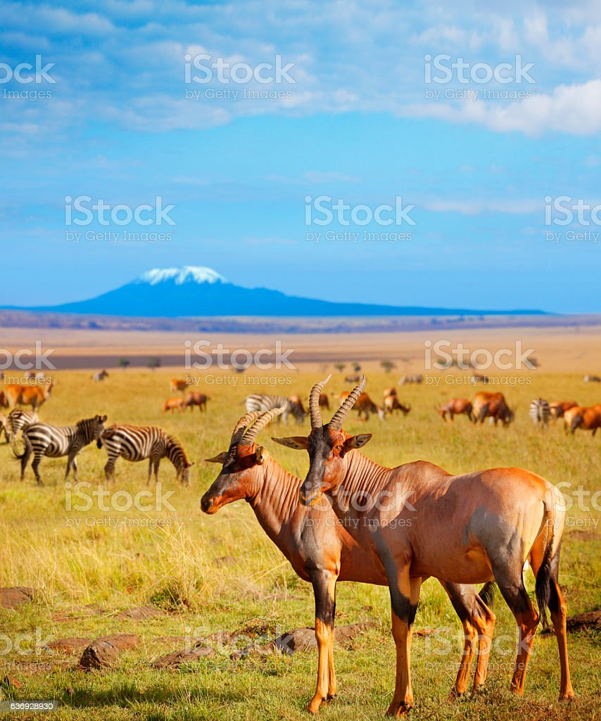 Antelopes and zebras in Amboseli National Park stock photo