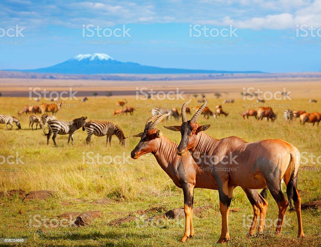 Antelopes and zebras in Kenya stock photo