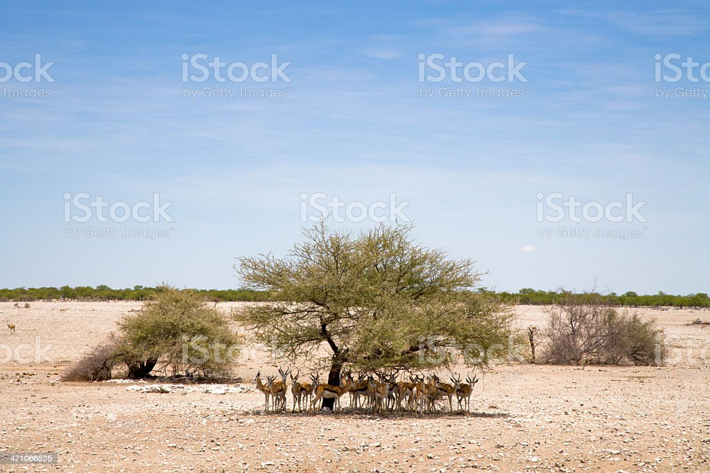 Antelopes in the rare shadow. royalty-free stock photo