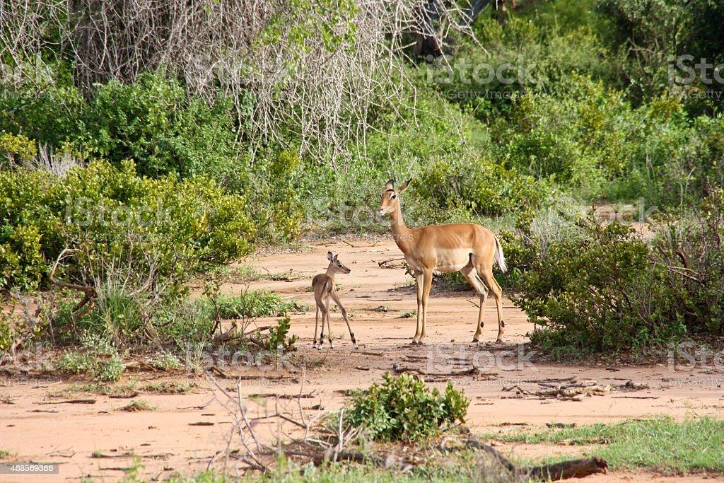 Antelopes standing in the bush at safari in Kenya royalty-free stock photo