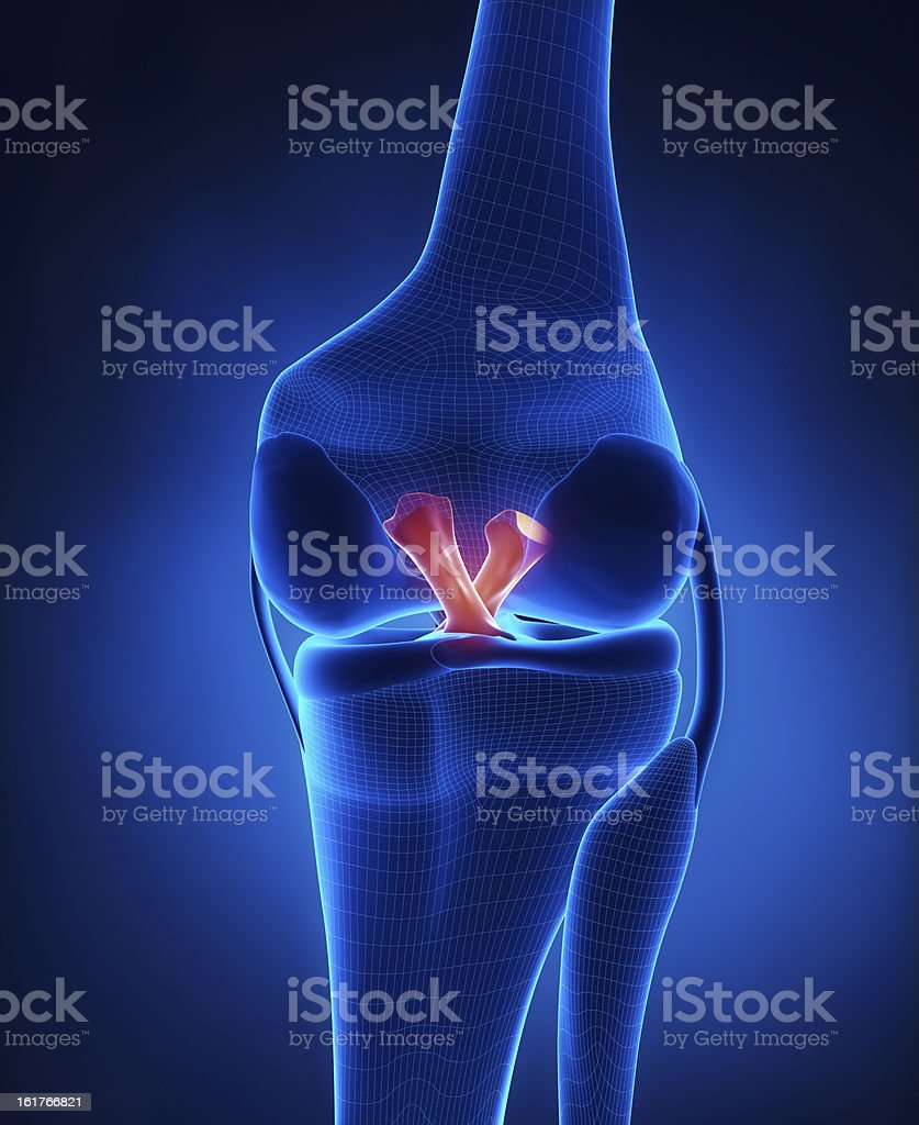 Anterior and Posterior Cruciate Ligament stock photo