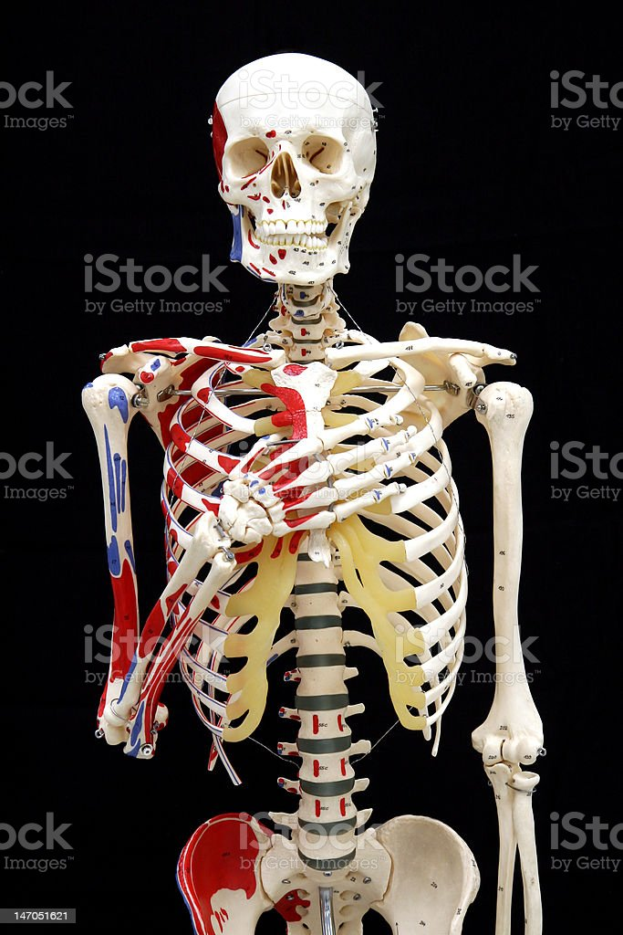 Anterior model skeleton saying the Pledge of Alligience stock photo