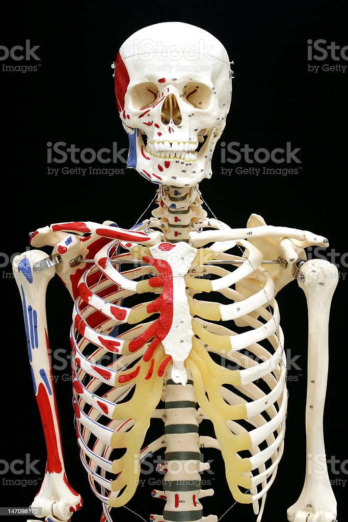 Anterior view of a model human skeleton with color highlights stock photo