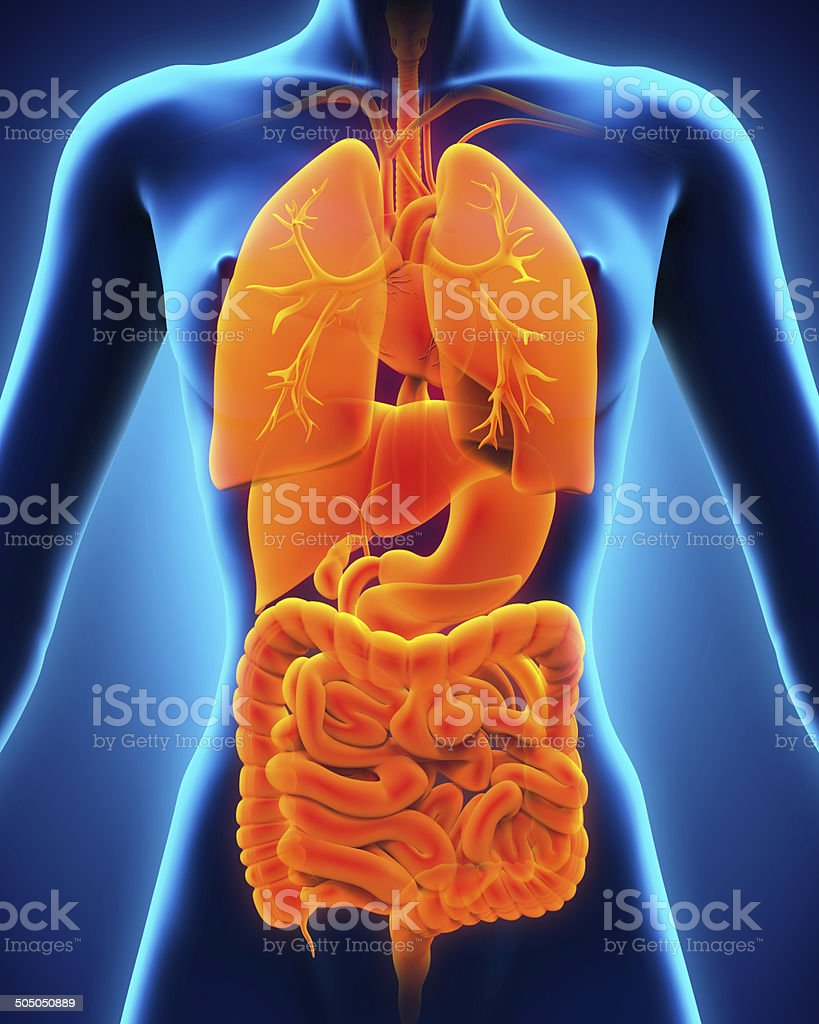 Anterior View Of Human Body Stock Photo 505050889 Istock