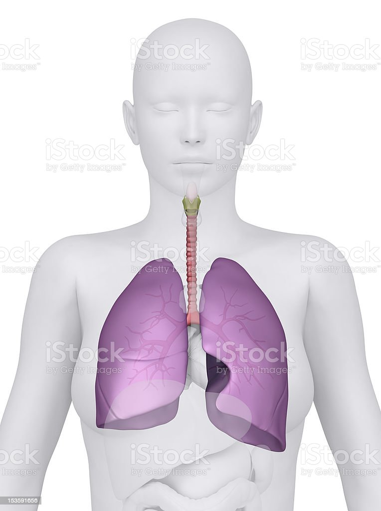 Anterior view of the female respiratory system royalty-free stock photo
