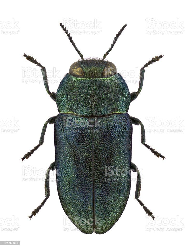 Anthaxia kochi jewel beetle isolated on white background stock photo