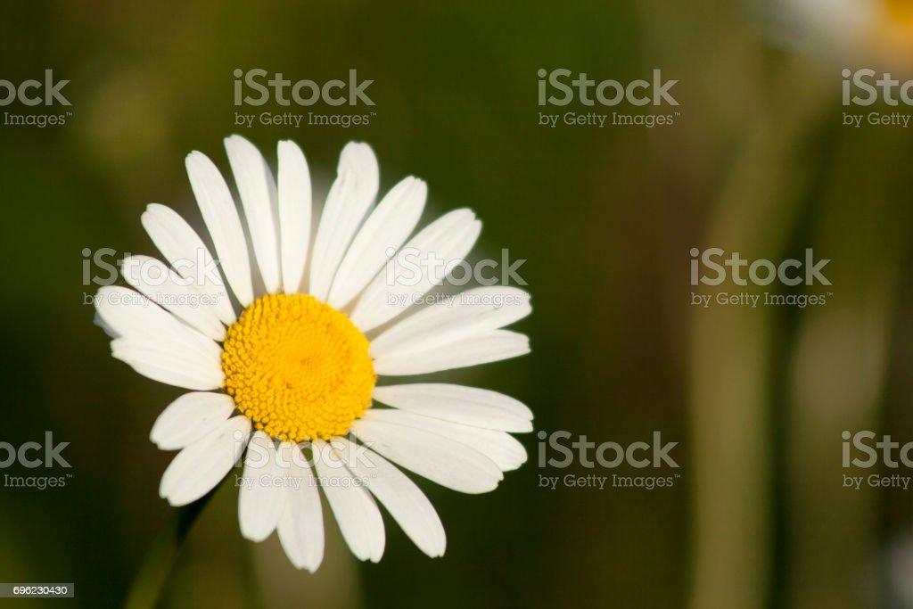 Anthemis arvensis stock photo