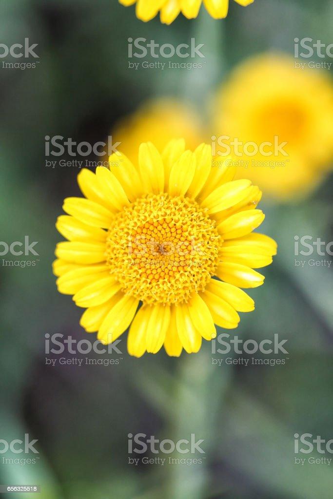 Anthemis tinctoria (Cota tinctoria or golden marguerite, yellow chamomile) stock photo
