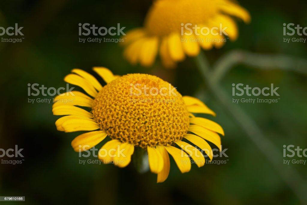 Anthemis tinctoria stock photo