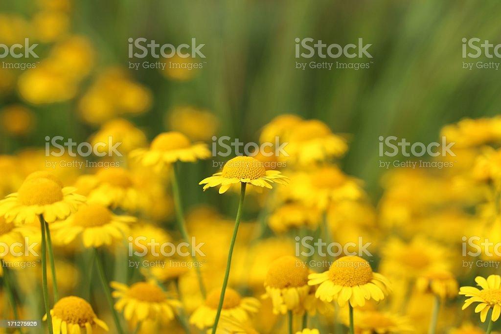Anthermis tinctoria - Färber-Hundskamille flowers stock photo