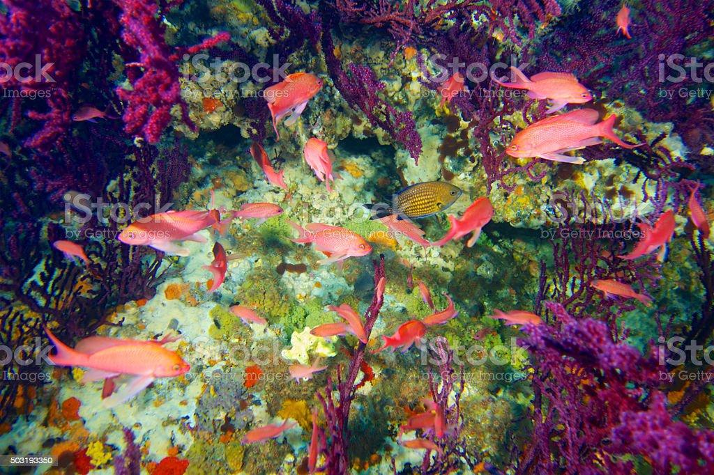 Anthers fish-Barbiers (Anthias anthias) stock photo
